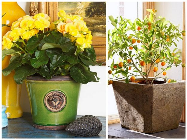 Calamondin Orange, Rieger Begonia