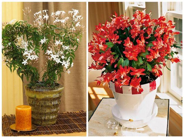 Christmas Cactus, Jasmine