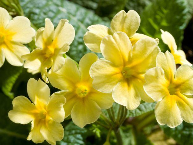 Pierwiosnek - dla zdrowia na wiosn�