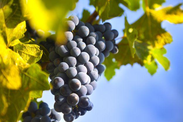 Winogrona – dlaczego warto je docenić?