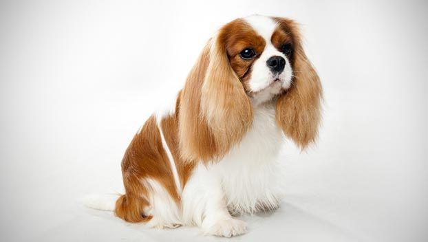 Najdroższe Rasy Psów Ranking Top 10 Zwierzęta Polkipl