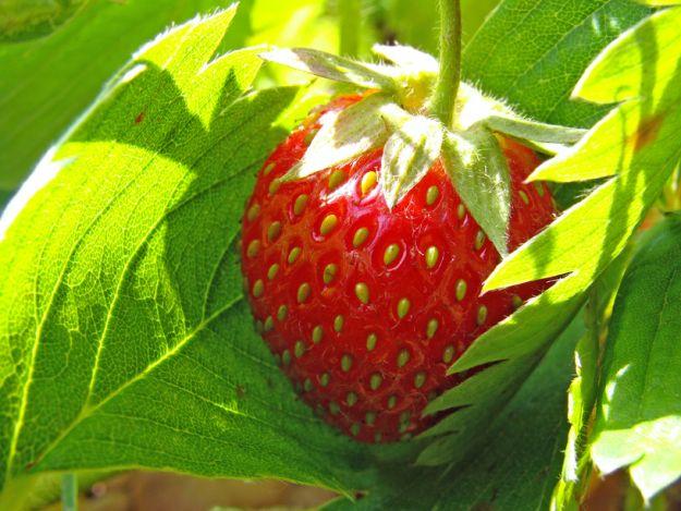 Zakładamy plantację truskawek