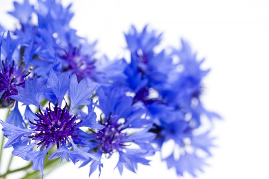 bławatek kwiat